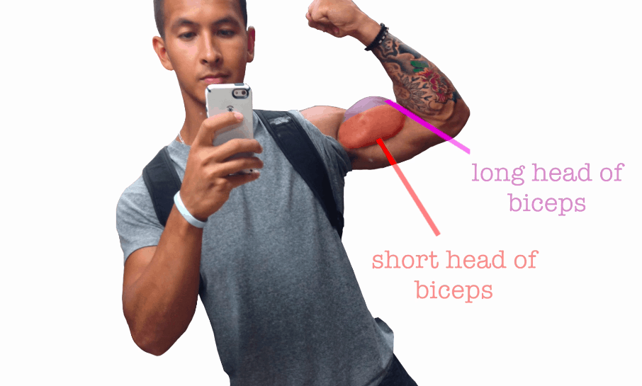 long and short head of biceps