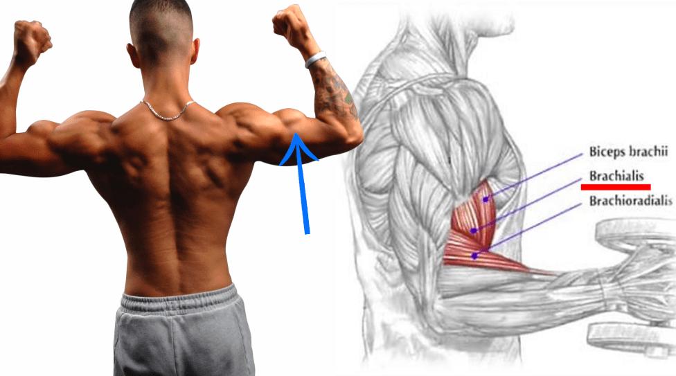 brachialis anatomy