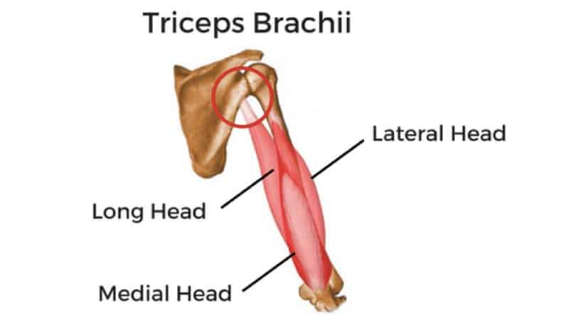 The Best Science Based Tricep Exercises For Each Head Work Your