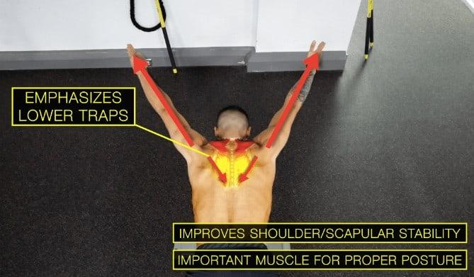 lower traps muscle fiber