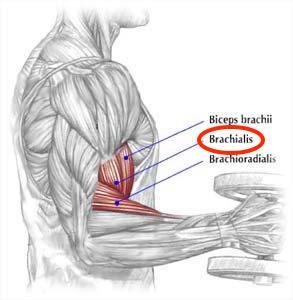 biceps-brachii-brachialis-brachioradialis