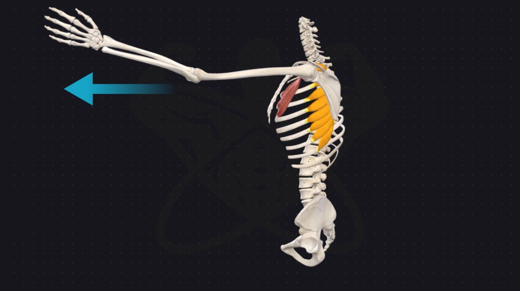 Serratus anterior function