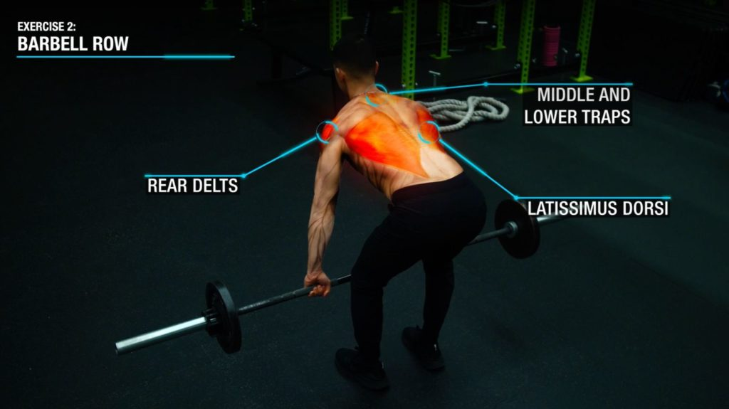 Barbell row anatomy