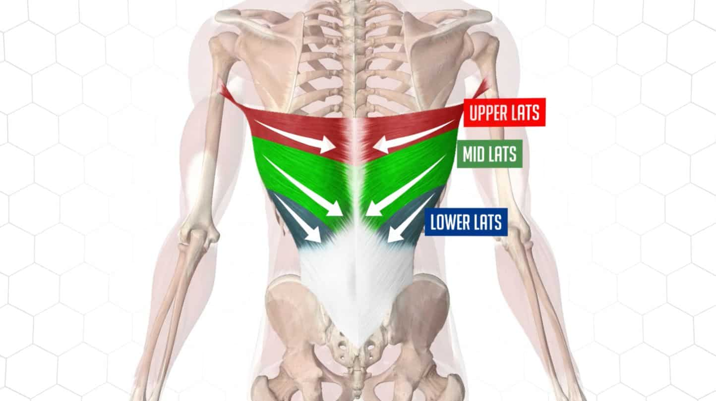 Understand your lats anatomy helps you pick the right exercises to train them